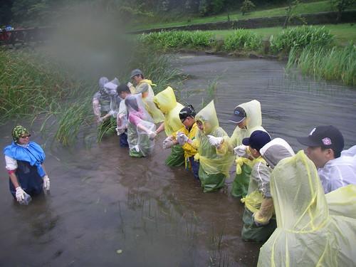 志工們為了避免身陷泥沼,在水池中手牽手一起前進,進行移除外來種的工作。