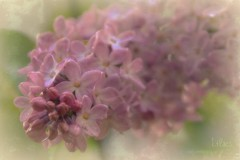 Lilac flower (blmiers2) Tags: flowers newyork flower nature nikon soft purple lavender explore lilac d3100 blm18 blmiers2