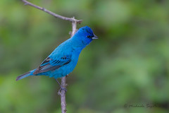 _53F6419 Rubber-necking for rivals (~ Michaela Sagatova ~) Tags: bird nature dundas indigobunting passerinacyanea birdphotography dvca michaelasagatova