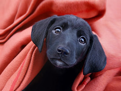 Gizmo (Dragan*) Tags: new family red portrait dog pet baby black hot macro cute texture love dogs beautiful smile face look animal animals cane mystery wow puppy nose cool intense fantastic eyes puppies friend perfect warm pretty labrador play heart pointer little sweet expression top gorgeous serbia innocent dream adorable canine indoors dolce blackdog precious blanket ear getty aww iloveyou sweetheart belgrade pup lovely fabulous happyholidays merrychristmas doggie beograd tender valentinesday happynewyear srbija preatty canis dogbreeds singidunum hotmoment