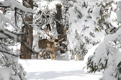 Buck in Grand Canyon (MickiP65) Tags: travel trees winter wild vacation arizona usa snow tourism nature beautiful landscape outside outdoors getaway wildlife grandcanyon south az deer antlers explore creation mostinteresting northamerica february buck rim creatures creature 2008 southrim copyrighted canoneos30d michellepearson mickip mickip65 promaster18200