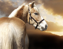 Beautiful Michael (theartofthehorse) Tags: life horse animal sunrise colorful cavallo sunet chevaux haflinger peopleschoice galope cavallos supershot supershots magicalworlds ithinkthisisart maggiedeephotographer eyejewel goldenglobeaward goldstaraward digitaleloquence