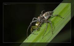 斜紋貓蛛 Oxyopes sertatus (Taiwan-Awei) Tags: awei taiwan insect nature spiders macro spider 蜘蛛 awei750 ecology 自然 生態 八足 掠食者 微距 taiwanawei 林敬偉
