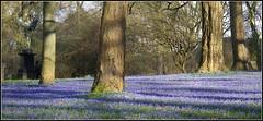 Nature is (katrin glaesmann) Tags: blue trees flower cemetery statue angel germany poetry linden hannover picnik walser compactcamera scillasiberica bergfriedhof naturesfinest justcropped moreparkthancemetery iveuploadedasimilarpicsomeweeksbefore