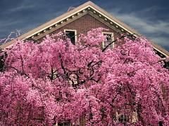 weeping cherry, Philadelphia (moocatmoocat) Tags: street flowers tree philadelphia square cherry blossoms moo na cal card chestnut sakura independence lm sh bd phl weeping 455 aoc cal3 aplusphoto cal2