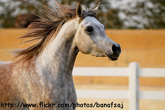 Free Run (Banafsaj_Q8 .. Free Photographer) Tags: horses photographer free run kuwait bait kw q8 alarab       kuw  banafsaj