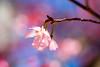 Shy (olvwu | 莫方) Tags: morning pink blue usa flower macro closeup ga georgia cherry spring downtown cherryblossom sakura savannah 櫻花 春 春天 naturesfinest jungpangwu oliverwu oliverjpwu fantasticflower olvwu abigfave diamondclassphotographer canonef100mmlens 4mazingorgeoushotsoflowers jungpang 莫方 吳榮邦