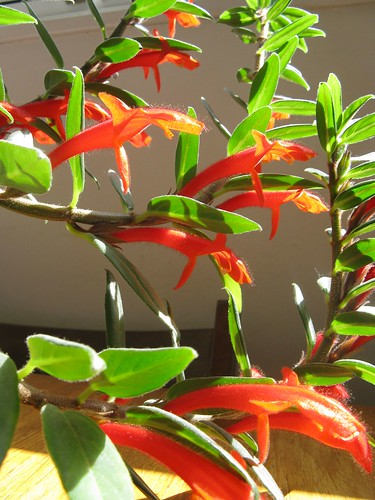 goldfish plant pictures. Goldfish Plant