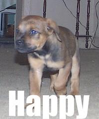 Happy (muslovedogs) Tags: dogs puppy happy mastiff rottweiler mastweiler zeusoffspring myladyoffspring