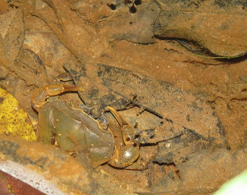 giant freshwater crab - photo #20