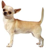 venta perro chihuahueno: