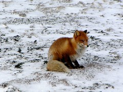 Cold and hungry - Fox in the Arctic.. (elysea100) Tags: winter cold norway arctic fox hungry finnmark naturesfinest naturescall platinumphoto elysea natureselegantshots