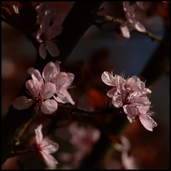 Lovely pink (Kirsten M Lentoft) Tags: pink flower tree cherry spring momse2600 thepoweroftheflower kirstenmlentoft