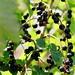 Foto: Zwarte bes 'Schwarze Perle'