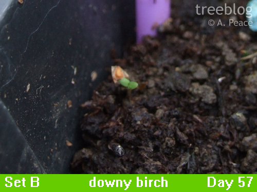 possible downy birch seedling