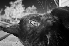 Eleanor IR Quatroz0rs (Robert Withers) Tags: cat blackcat tabby