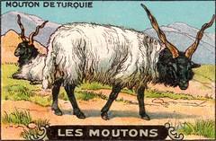 mouton 12