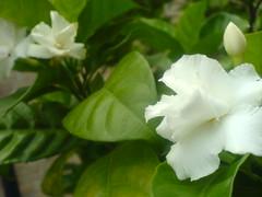 Gardenia (wandering clouds) Tags: pakistan plants white flower macro green nature leaves closeup garden asia jasmine bud punjab botany islamabad wanderingclouds