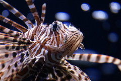 Lion Fish (seeit_snapit) Tags: park fish water zoo texas waco cameron lionfish fins vob supershot getrdun animalkingdomelite challengeyouwinner naturethroughthelens vosplusbellesphotos