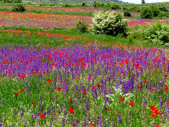 flowers in the rye (Marlis1) Tags: flowers spain aragon wildflowers marlis1 caadadebenatanduz maetsrazgo