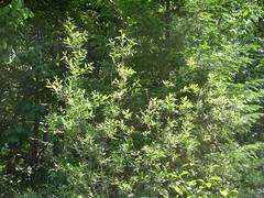 White-crowned sparrow (brewbooks) Tags: bird washington hiking aves animalia northcascades songbird mountaineers naturalist whitecrownedsparrow zonotri