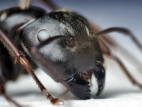 Head of a Black Carpenter Ant (Camponotus pennsylvanicus)
