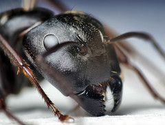 Head of a Black Carpenter Ant (Camponotus penn...