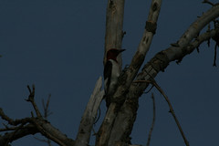 Red-headed-Woodpecker-2