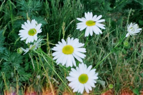 daisy in Oslo