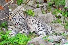 Indeever (Tambako the Jaguar) Tags: wild baby cute tongue cat zoo cub schweiz switzerland big furry nikon feline funny rocks zurich adorable kitty fluffy bigcat vegetation zrich wildcat snowleopard felid d300 panthera schneeleopard snowkitty uncia anawesomeshot loparddesneiges panthredesneiges indeever