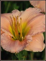 A Peach of A Lily.... (ccindigirard) Tags: friends picnik vob abigfave visiongroup empyreanflowers onlythebestare flowerorfoliagedetail floraandfaunaoftheworld qualitypixels flickrflorescloseupmacros flowerstoadmireangelamurphy