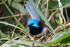Variegated Fairy Wren (Male) (honeypestypie) Tags: birds vivid naturesfinest variegatedfairywren artisticexpression avianexcellence