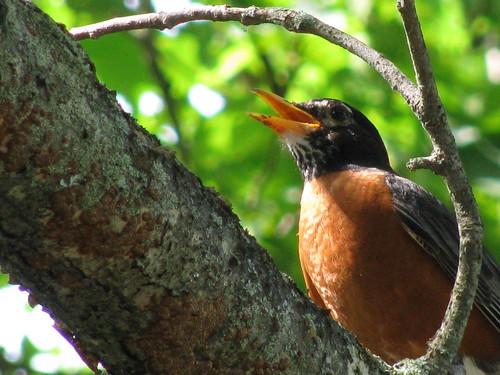 American Robin (Cutler)