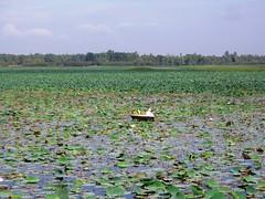 A man collecting lotus leaves in the lake (~~~~Karthik.S~~~~) Tags: india lake canon karnataka oléquebonito