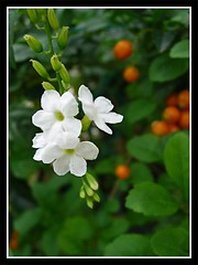 Duranta repens/erecta 'Alba' in our garden