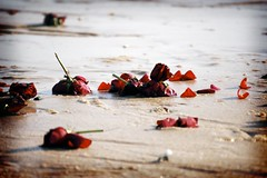 Roses in the sand (tboonad) Tags: flowers sea roses beach delete10 delete9 delete5 delete2 sand delete6 delete7 save3 delete8 delete3 delete delete4 save save2 vietnam destitute