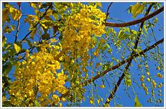 kanikonna (kcbimal) Tags: blue flower yellow kerala vishu laburnum kani bimal amaltas konna indianlaburnum kanikonna