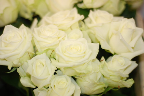Flowers Pictures Roses. Garden flowers - white roses