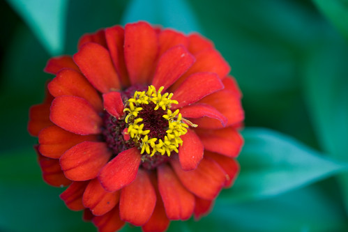 Yet another zinnia