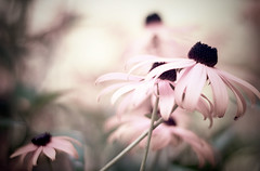 PPT (Lee_Bryan) Tags: pink canon dof echinacea bokeh coneflower ppt