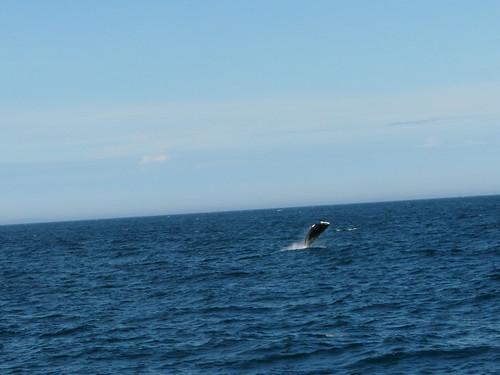 balena harbour porpoise saltant a Husavik