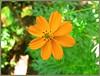 Orange wonder