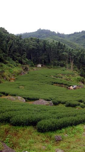 40.茶樹是綠色的地毯
