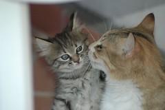 La madre che insegna (virgiliomulas.) Tags: gatto gattino gatta anawesomeshot insegnamento theunforgettablepictures goldstaraward rubyphotographer virgiliocompany