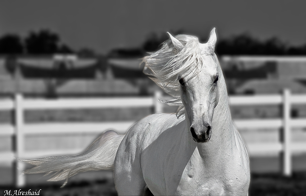 wallpapers horses. White Horse Wallpaper
