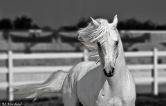 White Horse (B&W) (Mishari Al-Reshaid Photography) Tags: horses blackandwhite bw horse white black blur animal animals photoshop canon eos blackwhite kuwait arabian arabianhorse digitalreb
