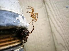 (arlspider) Tags: moult gardenspider spidersilk