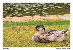 Resting HDR (Xploi ) Tags: world pakistan copyright lake art love pool grass canon eos 350d one duck frames still asia shot heart border  captured creative ducks resting karachi 2008 hdr atif mywinners rubyphotographer xploiter