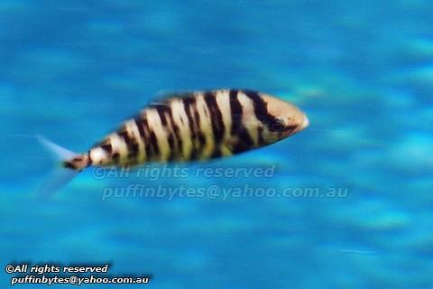 Lesser Amberjack - Seriola fasciata