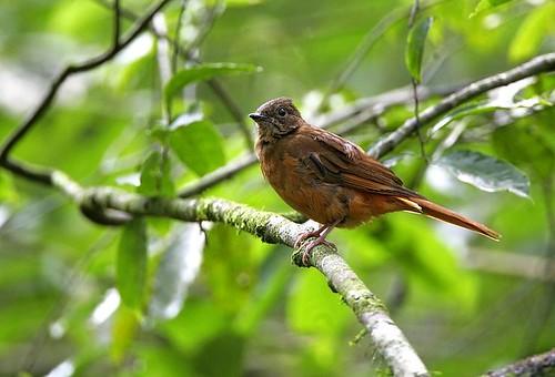 Rufous Flycatcher-Thrush - Budongo Uganda 06_4875-185